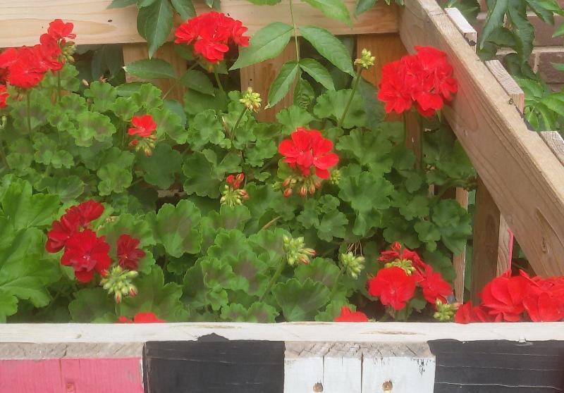 rote Geranien dienen als Färbemittel